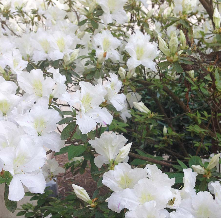Azalea-white-blooms-at-High-Point-Market