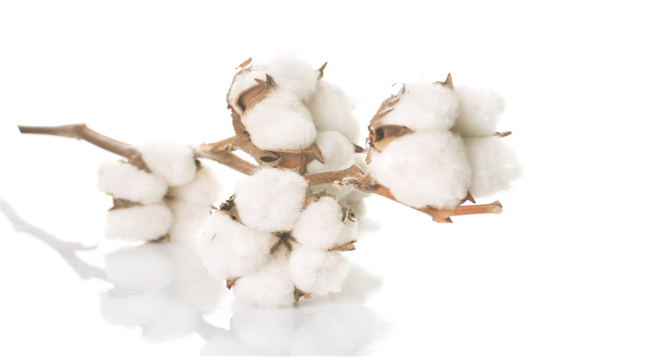 Bolls-of-cotton-fibre-on-dried-stalk