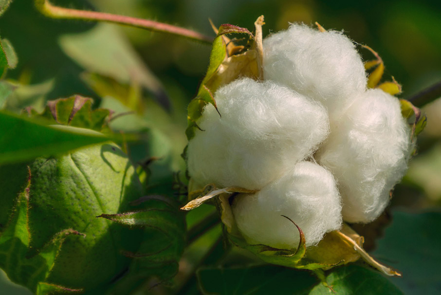 Cotton-bur-with-four-lobules-of-cotton-fibre