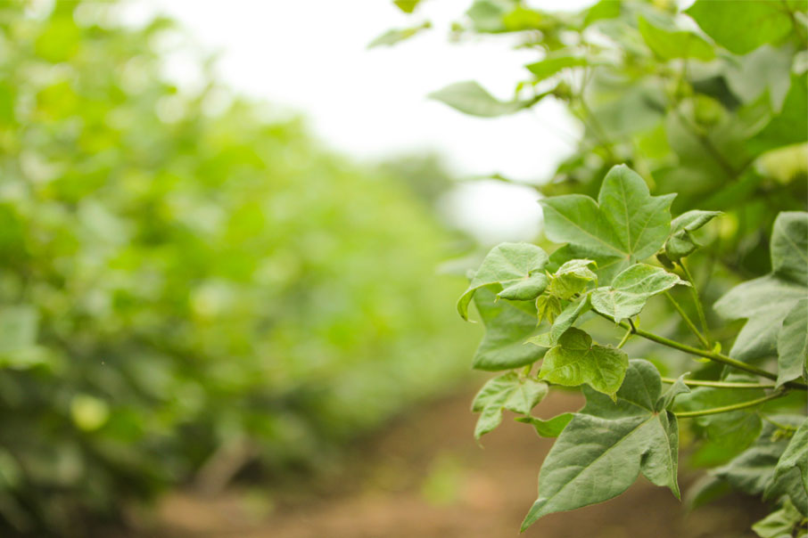 Cotton-shrubs-macro-of-leaves-with-softened-field-in-background