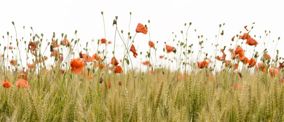 Field-of-orange-poppies