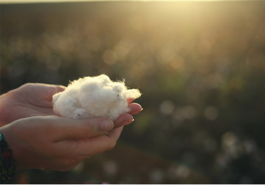Hands-holding-just-picked-cotton-fibre