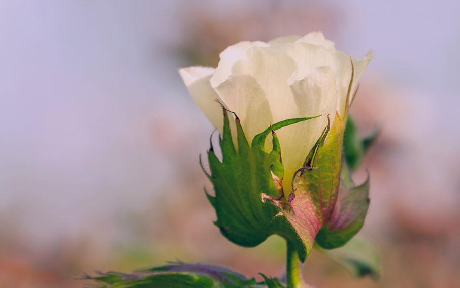 Macro-of-white-cotton-flower-bloom-opening-against-mauve-blurred-background