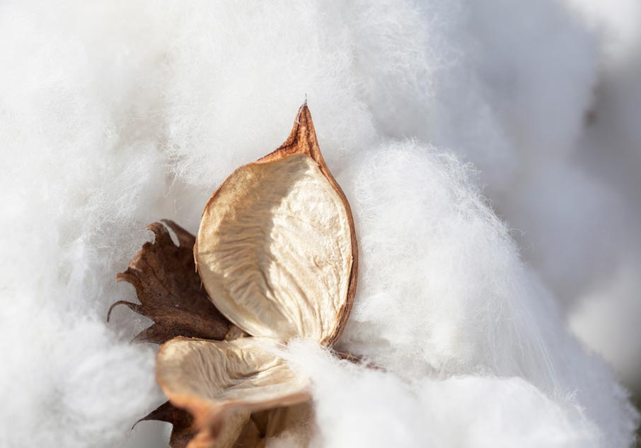 Shell-of-cotton-boll-split-open-on-cotton-background