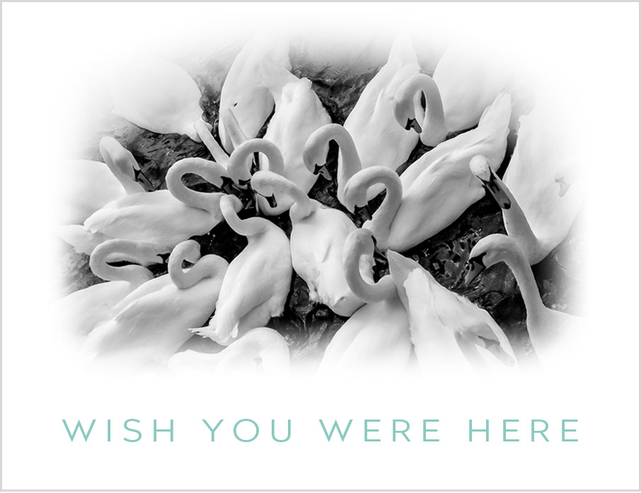 Bevy-of-swans-message-wish-you-were-here