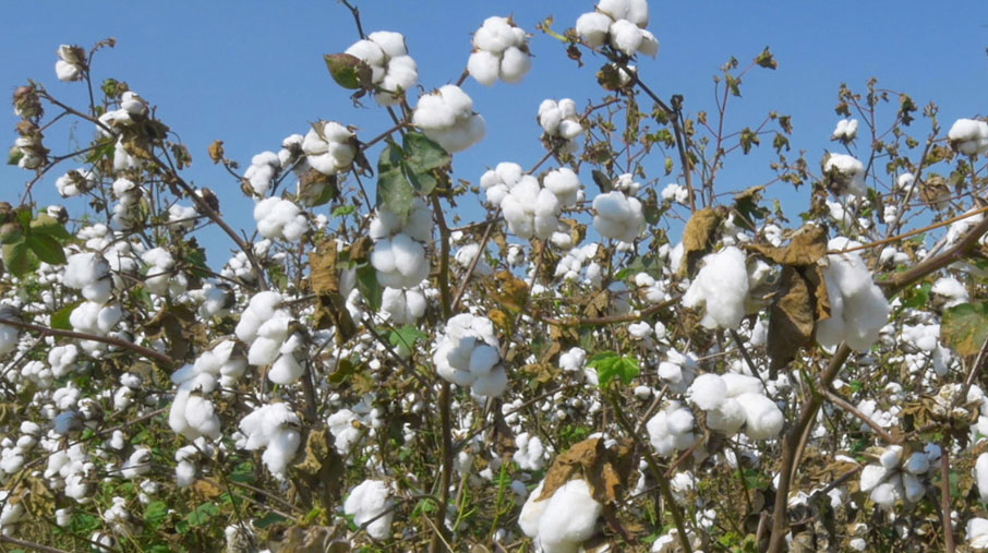 Cotton-field-with-cotton-bolls-open