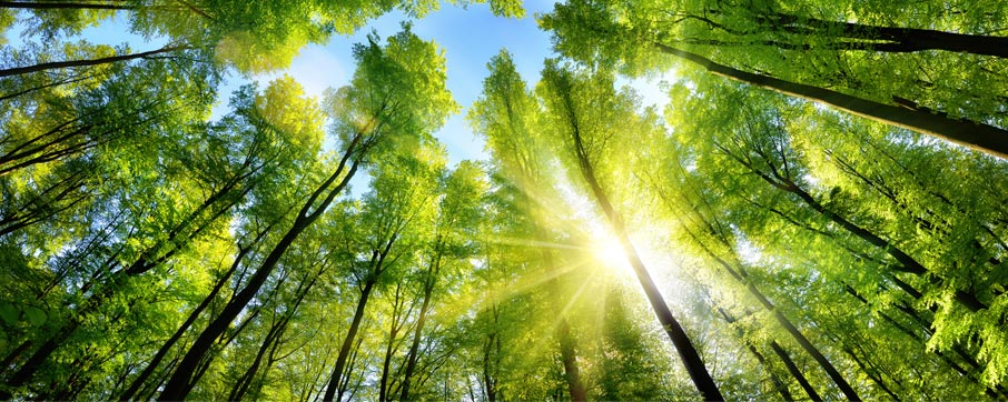 Looking-up-at-tall-green-treetops-with-sun-beaming-through