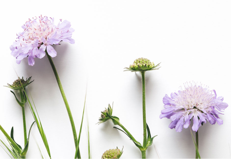 Nature-purple-flowers-on-white-background