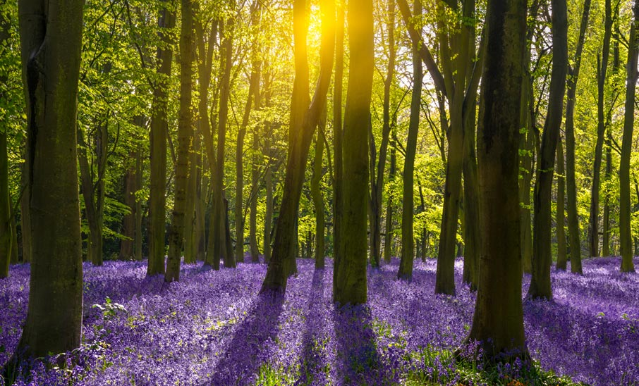Woods-with-sunlight-streaming-through-trees-onto-floor-of-bluebell-flowers